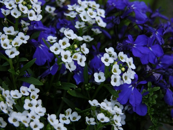 lobelia and alyssum flowers