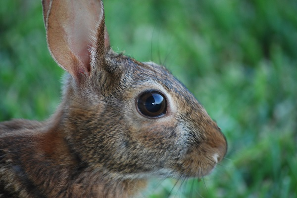 female cottontail rabbit