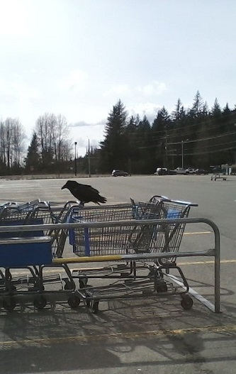 crow on shopping cart