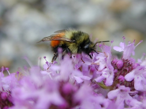 bee thyme flower