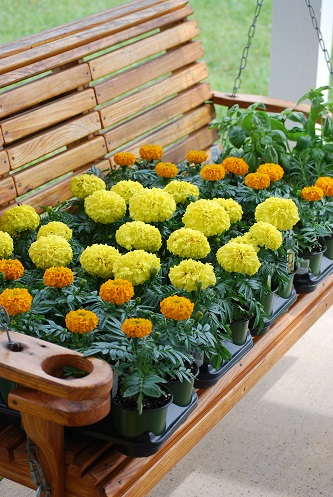 marigolds and herbs