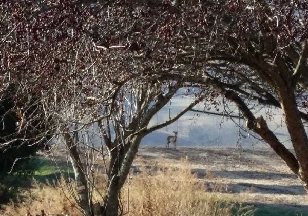 whitetail deer in field