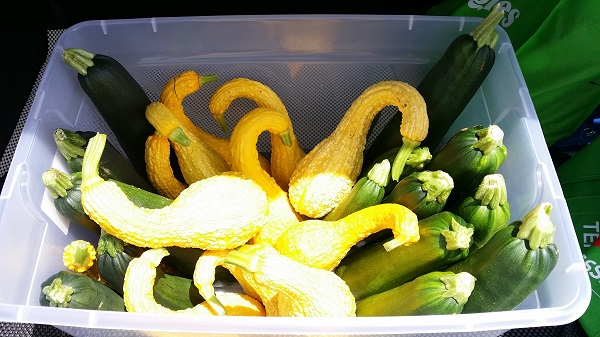 crookneck squash and zucchini