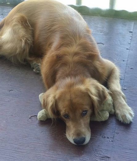 harley with bear
