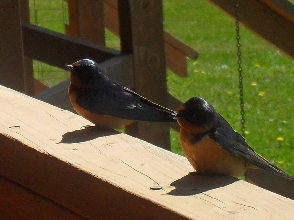 gustavus birds at bed and breakfast porch